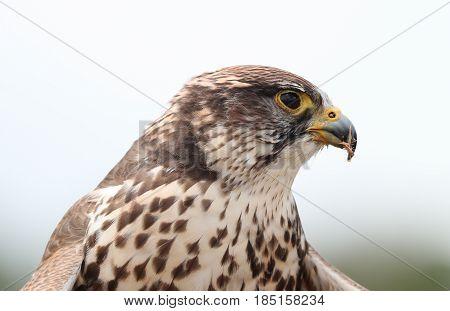 Close up of a Saker Falcon eating prey