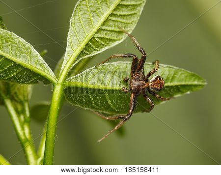 Spider Under Leaves