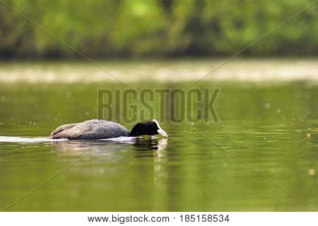 A Beautiful Black Wild Duck Floating On The Surface Of A Pond (fulica Atra, Fulica Previous)