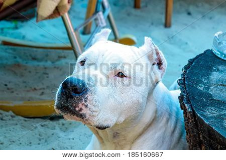Closeup imager of beautiful white adult pit bull