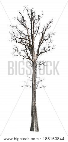 big tree die isolate on white background