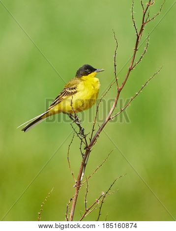 Black Headed Western Yellow Wagtail