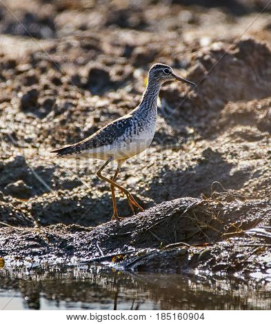 Sandpiper By The Water