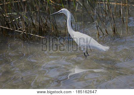 A white heron hunting small fish in the lake - garzetta (Egretta garzetta):