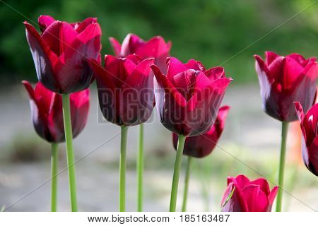 many red tulips in the garden. photo