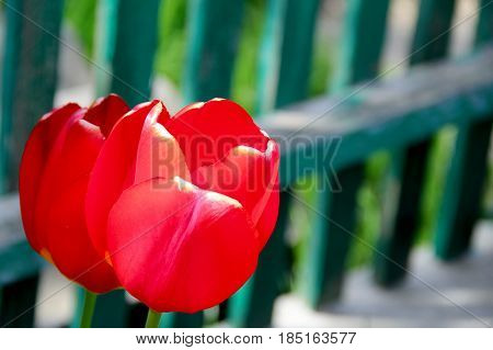 two red tulips in the garden. photo