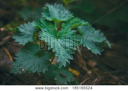 Nettle at darkness in the evening. Urtica.