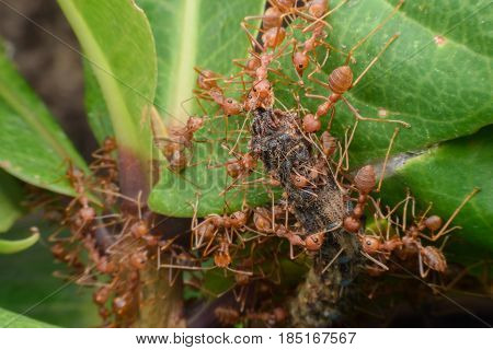 Weaver ants or green ants transferring food to their colony