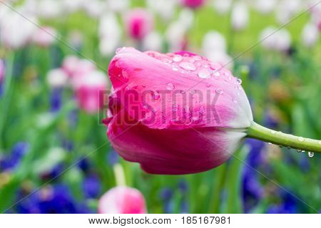 Raindrops on a Pink Flower. Close-up of a Tulip (Tulipa) on a rainy Day. Raindrops on a Pink Tulip. A Field full of pink Flowers. Garden Flowers. Spring Flowers