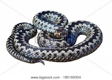 European adder (lat.Vipera berus) on a white background. Venomous snake. A snake on the is preparing to attack.
