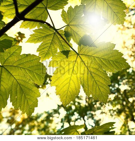 Leaves of a maple in spring in bright sunshine