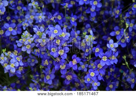 Horizontal image of beautiful blue and white flowers in landscape