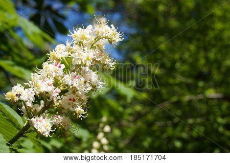 Blossom of horse chestnut tree ( Aesculus hippocastanum )