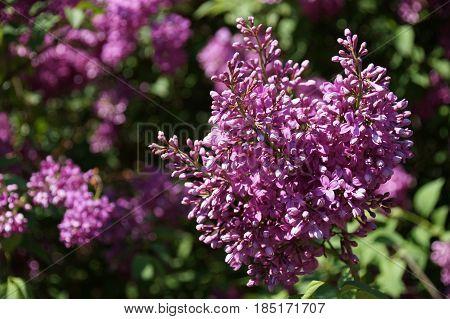 Details of flowers common lilac ( Syringa vulgaris )