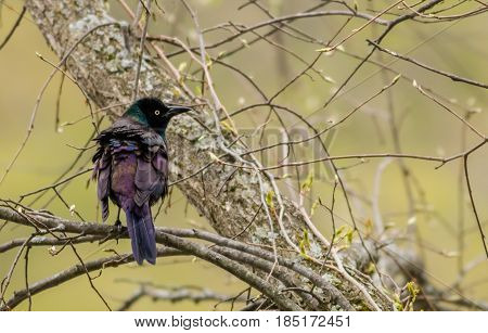 Common Grackle (Quiscalus Quiscula) has beautiful feathers in rich deep colors