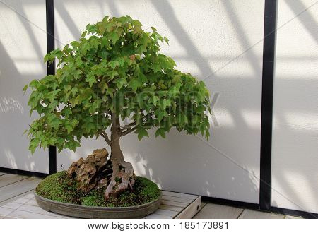 Gorgeous potted Bonsai tree with lush leaves set in oval planter