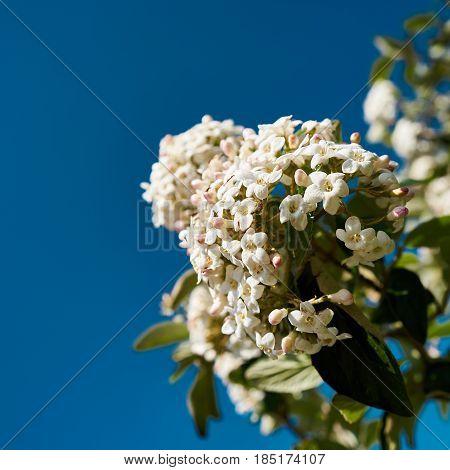 White flowers of a Viburnum burkwoodii in springtime