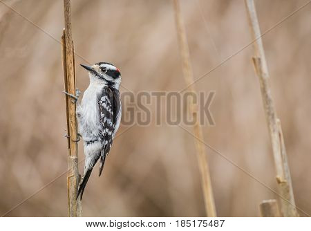 Downy Woodpecker (Picoides Pubescens) stands out among three swamp reeds