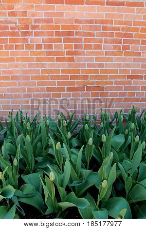 Vertical image of old, weathered brick background with bed of red  tulips just beginning to open under warmth of Springtime sun.