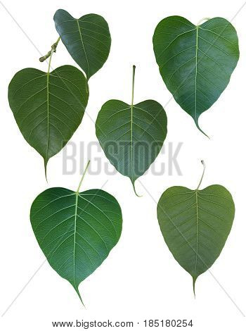Ficus religiosa leaf Isolated on white background.