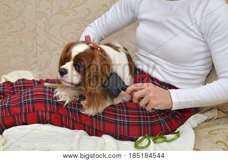 Dog Brushing On Lap