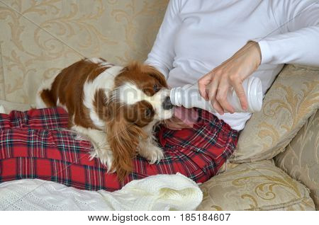 Woman sitting on a sofa and holding a plastic bottle while her dog Cavalier King Charles Spaniel drinking and licking yoghurt from it
