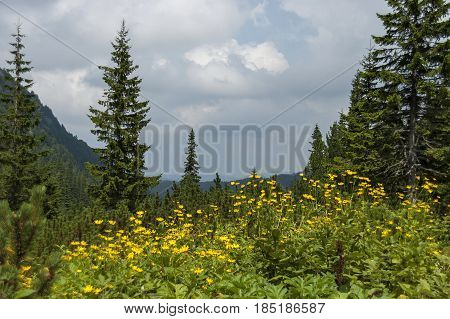 Mountain top overgrown with coniferous forest, glade  and  Arnica  or wild yellow flower on the   ecological walk toward Maliovitza peak in Rila mountain, Bulgaria