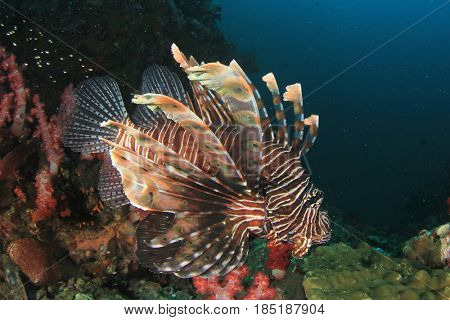 Lionfish fish and coral