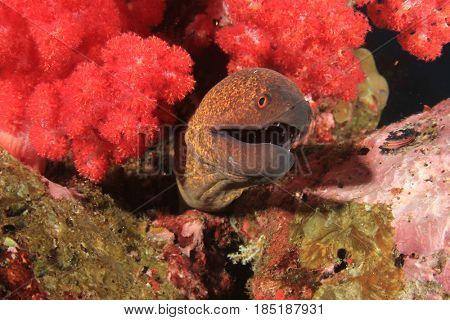 Yellowmargin Moray Eel
