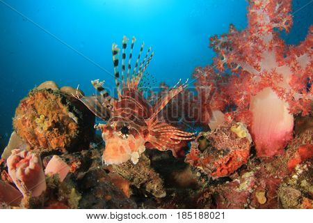 Dwarf Lionfish fish and coral