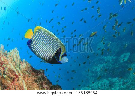 Emperor Angelfish - fish on coral reef