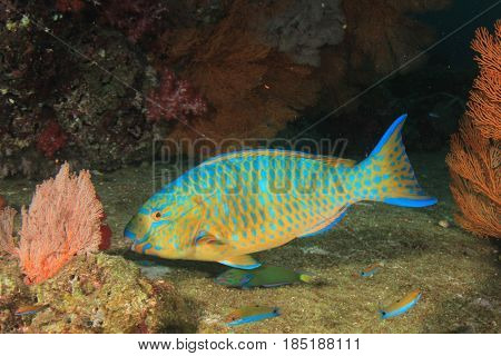 Blue-barred Parrotfish fish