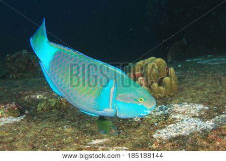 Bullethead Parrotfish fish
