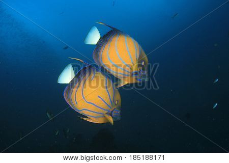 Pair Bluering Angelfish fish