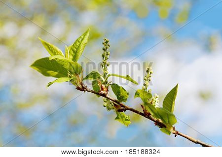 Branch Of A Tree With Blossoming Flatteries
