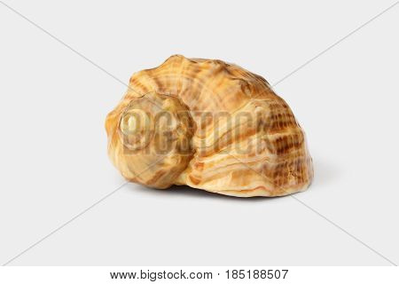 Brown shell of Black Sea rapana on white background