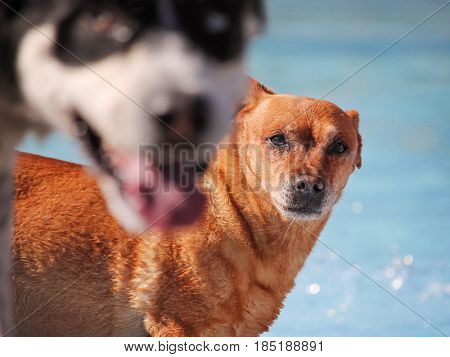 a cute dog swimming in a public pool and having a good time during the summer vacation holiday (photo bomb)