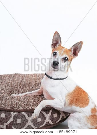 a cute rat terrier in the studio on a pet bed isolated on white