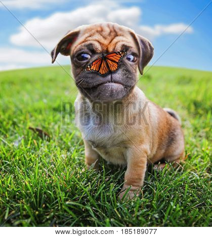 a cute chihuahua pug mix puppy (chug) looking at the camera with a butterfly on its nose