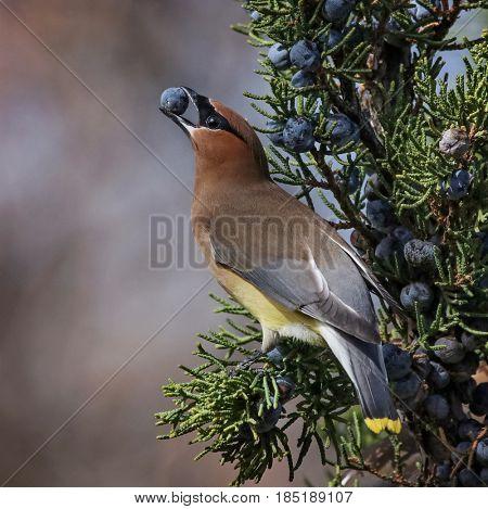 a cedar waxwing in a tree eating a juniper berry