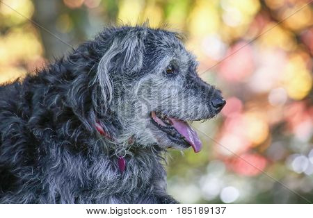 a large mixed breed dog posing for the camera during a hot summer day with her tongue poking out