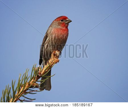 a beautiful house finch sitting on an evergreen branch