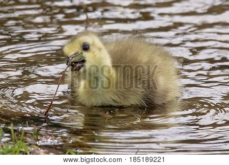 a newborn tiny gosling swimming in a pond at a local wildlife park refuge