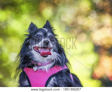 a cute Pomeranian panting in the sun while sitting outside on a beautiful summer day with