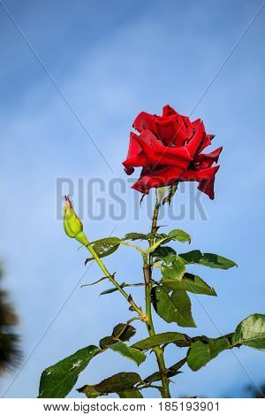 A single red rose in a garden.