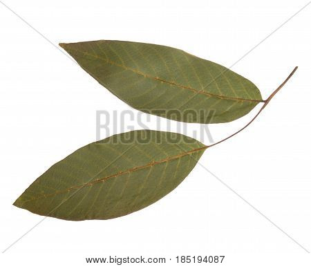 Dried and pressed leaves of a walnut isolated. Herbarium of the leaves of fruit trees