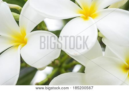 White and yellow Plumeria spp. (frangipani flowers, Frangipani, Pagoda tree or Temple tree) on soft natural green background.