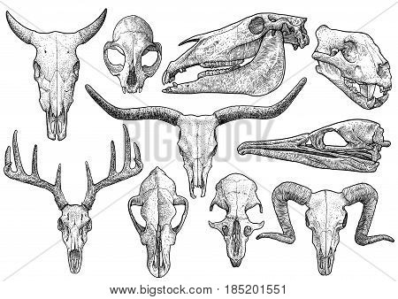 Skull collection illustration, drawing, engraving, ink, line art