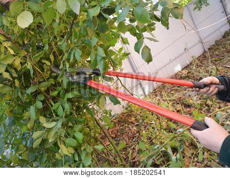 Gardener with garden tools pruning Rose. Prune Climbing Roses. How to Prune Roses Bush.
