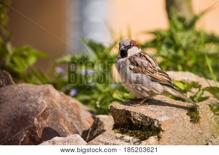 Single Male Sparrow Sits On Stone In The Garden